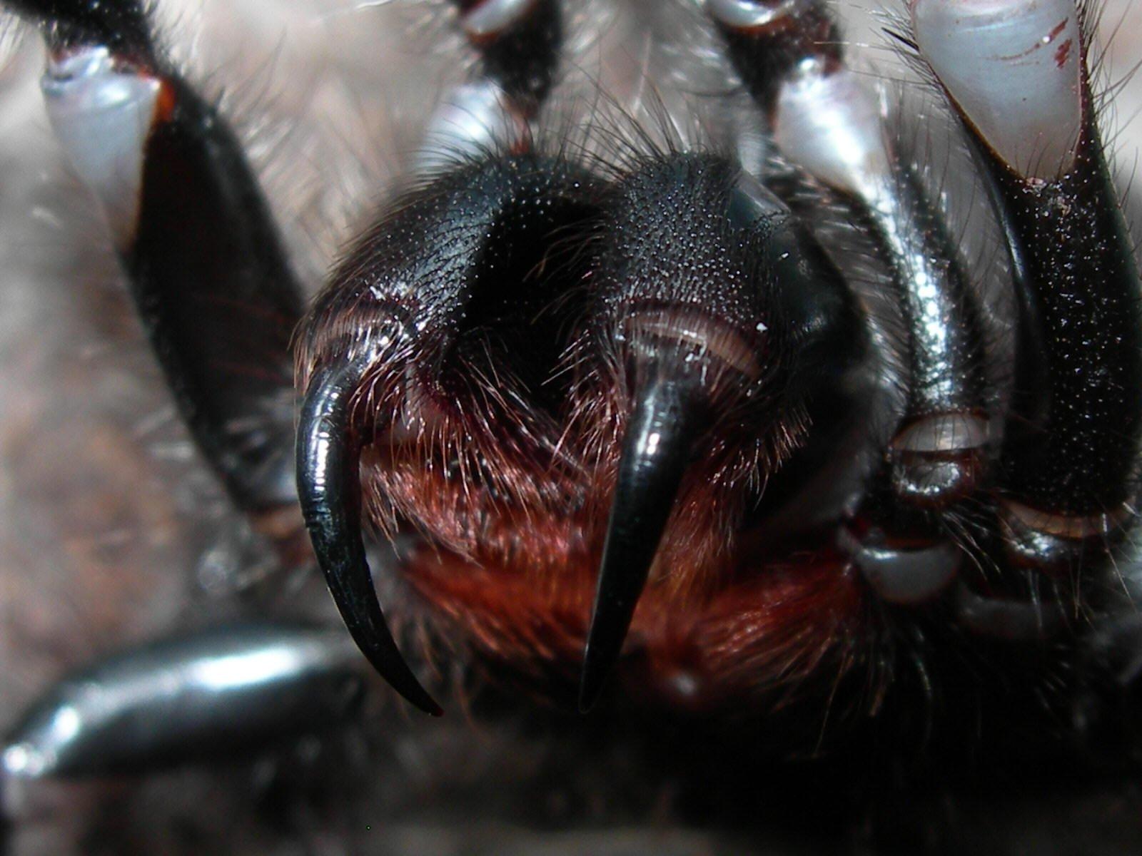Deadliest Spider of Australia: Sydney Funnel Web Spider