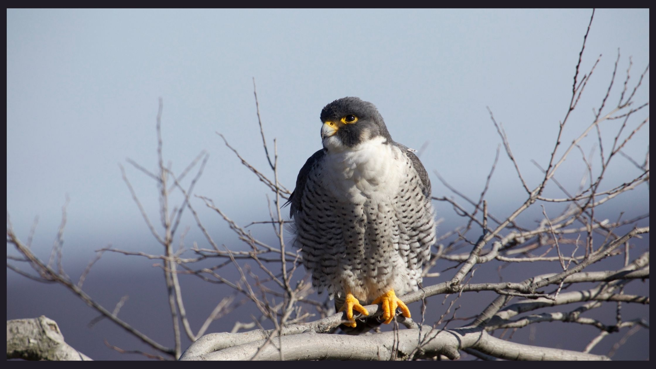 Cool Peregrine Falcon Facts