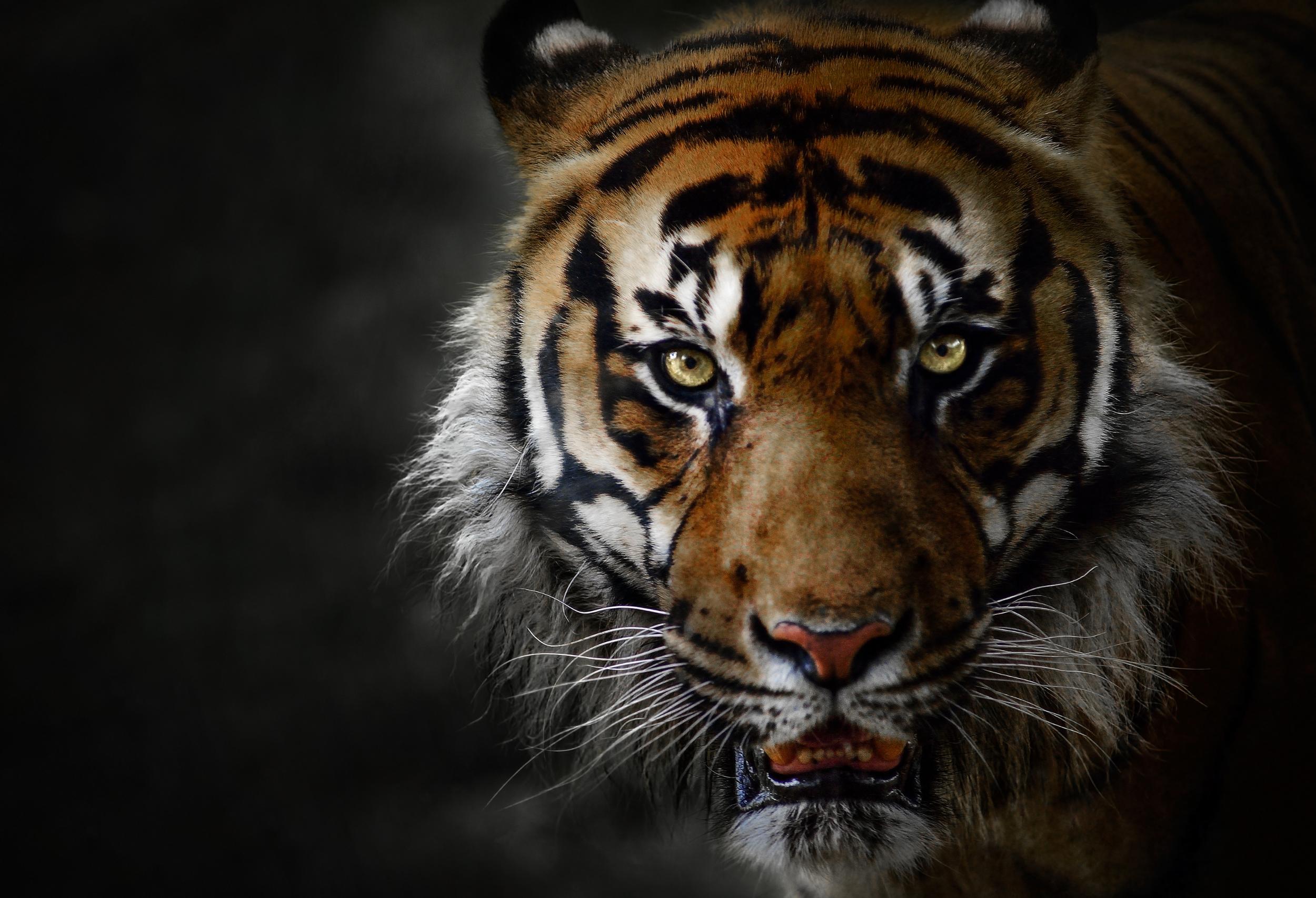 Tigers – A Symbol of Royalty