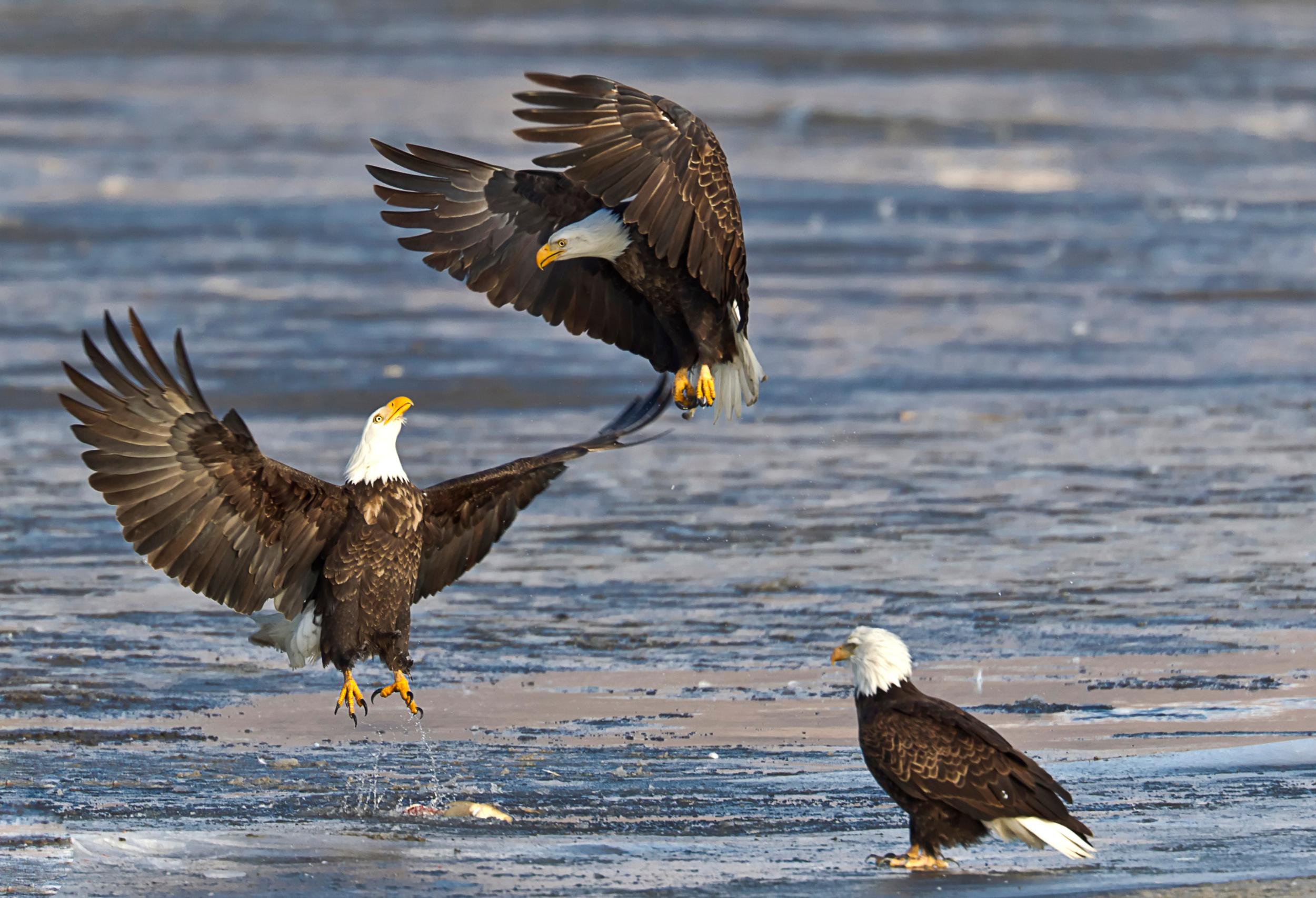 Birds – The American Bald Eagle